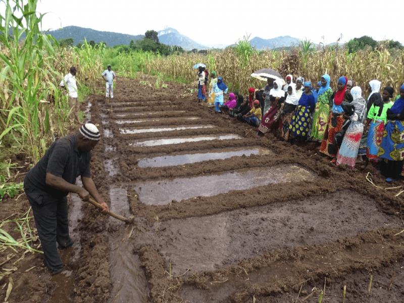 A farmer practicing basin irrigation